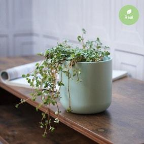 Ivyline Pilea Glauca Plant in Ceramic Pot (Pilea glauca)
