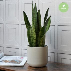 Ivyline 18cm Snake Plant in Ceramic Pot (Dracaena trifasciata)