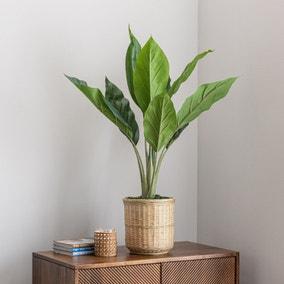 Banana Plant in Bamboo Basket
