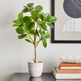 Ficus Deltoidea in Terracotta Pot 50cm