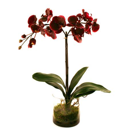 Dorma Plum Phalaenopsis in a Glass Vase