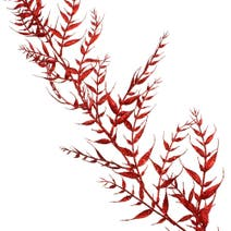 Red Bamboo Garland