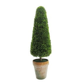 Mini Conifer Tree