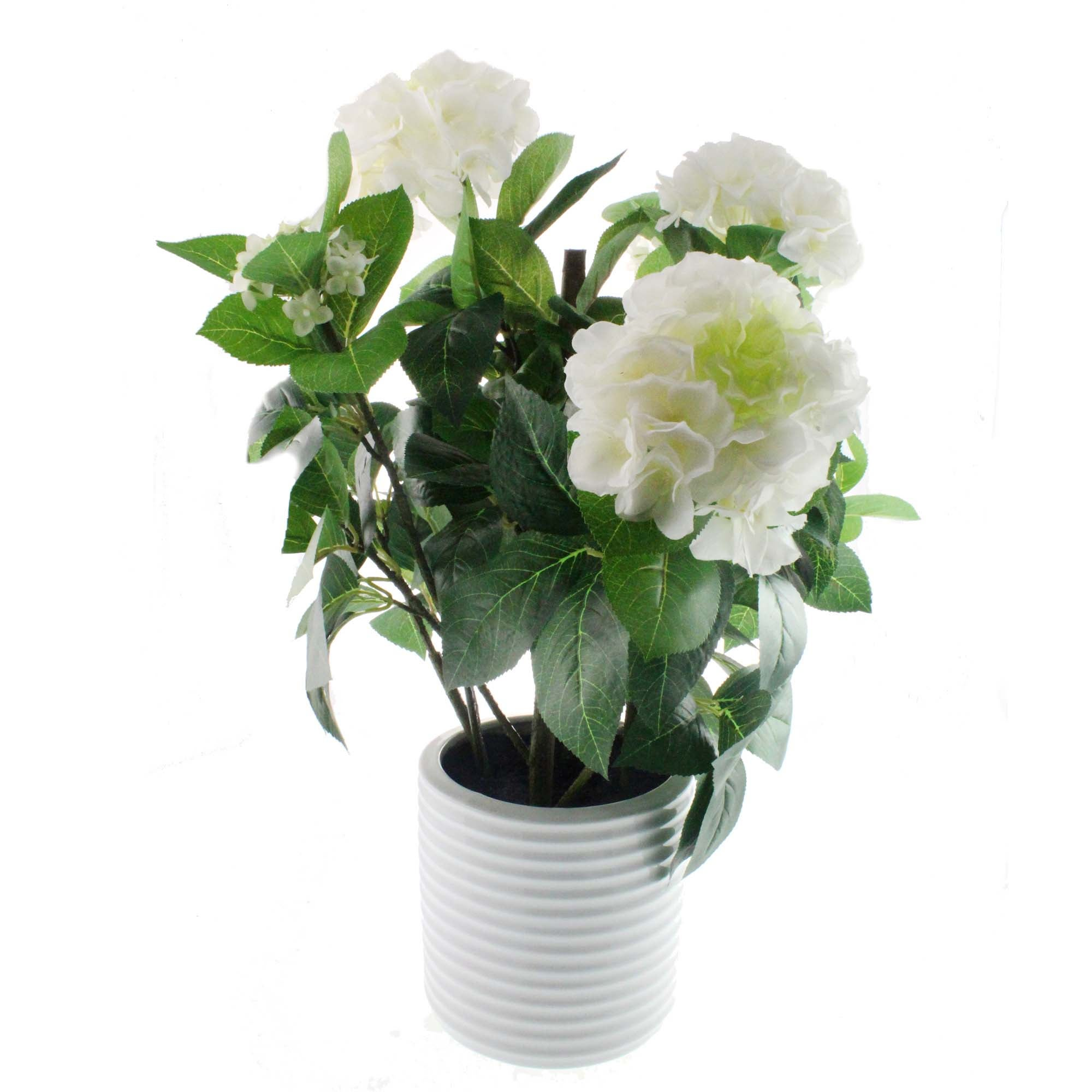 Image of Hydrangea Plant in White Pot Cream